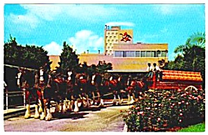 1950s Budweiser Clydesdales Breweriana Postcard