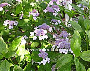 Lace Cap Hydrangea Photograph 1 - Limited Edition