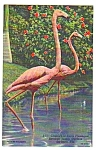 Click to view larger image of Lot of 1950s PINK FLAMINGOS Sarasota Florida Postcards (Image1)