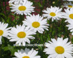 Click here to enlarge image and see more about item PHSEB0101A15-2009: SHASTA DAISIES Photograph 1 - Limited Edition