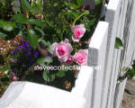 SECRET GARDEN Rose Photograph - Limited Edition