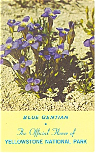 Blue Gentian Yellowstone National Park Postcard p13508 (Image1)