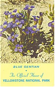 Blue Gentian, Yellowstone National Park Postcard (Image1)