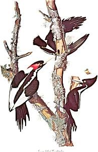 Bird Prints Audubon Style Lot b0138 (Image1)