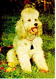 Small Poodle Postcard (Image1)