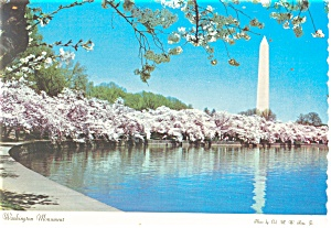 Washington Monument and Cherry Blossoms Postcard (Image1)