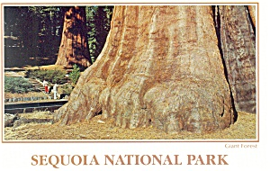 Sequoia National Park CA Giant Forest Postcard cs0511 (Image1)