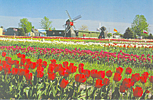 Holland, MI Tulip Farm Postcard (Image1)