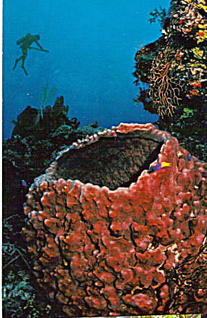 Huge Barrel Sponge Postcard cs6939 (Image1)