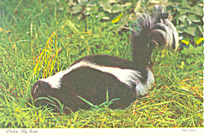Skunk Pardon My Scent Postcard cs1026 (Image1)