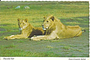 Pair of Lions at Lion Country CA Postcard cs10318 (Image1)