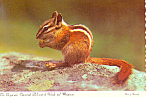 Chipmunk Habitant of Woods Mountains Postcard cs1039 (Image1)