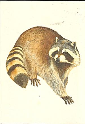 Museum Natural History Genova Italy Raccoon cs 111135 (Image1)