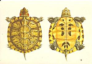 Museum Natural History Genova Italy Turtles cs 11138 (Image1)