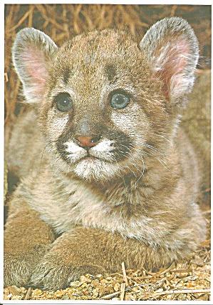 Cougar Cub Postcard cs11284 (Image1)