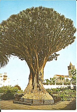 Tennerife Canary Islands 1000 Year Old Tree cs11731 (Image1)
