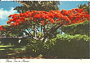 Flame Tree Hawaii Cs11846