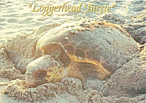 Loggerhead Turtle Nesting On Florida Beach Cs11936