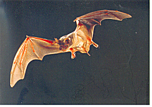Mexican Bat Carlsbad Caverns NM Postcard cs1301 (Image1)