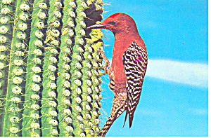 Gila Woodpecker  Postcard (Image1)