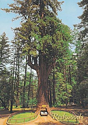 Leggett CA Chandelier Drive Thru Redwoo Tree Postcard CS13986 (Image1)