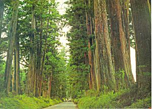 Cryptomeria Avenue, Tochigi, Hokkaido, Japan Postcard (Image1)