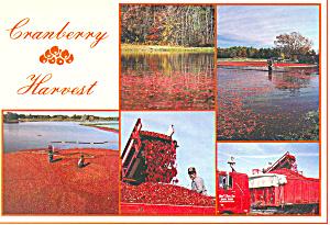 Cranberry Harvest, Cape Cod, MA Postcard (Image1)