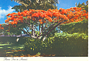 Flame Tree Royal Poinciana, Hawaii Postcard
