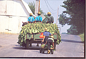 Amish Harvesting Tobacco Postcard cs1815 (Image1)