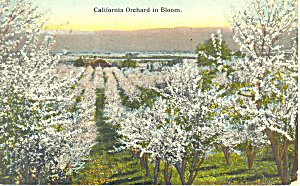 California Orchard In Bloom Cs19764