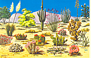Cacti And Desert Flora Of The Southwest Postcard Cs1996