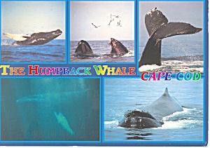 Humpback Whale,Cape Cod, MA Postcard 1998 (Image1)