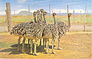 Three Months Old Ostrich Chicks  Postcard (Image1)