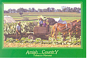 Amish Tobacco Harvest PA Postcard cs2211 (Image1)