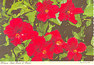 Hibiscus State Flower of Hawaii Postcard (Image1)