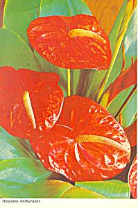 Anthurium of Hawaii  Postcard cs2440 (Image1)