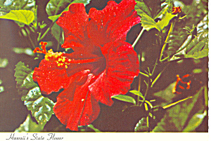 Red Hibiscus,State Flower, Hawaii Postcard (Image1)