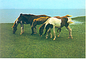 Chincoteague Ponies,Assateague Island,VA Postcard (Image1)