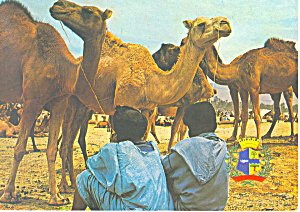 Camels Morocco cs2815 (Image1)