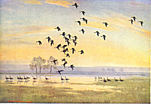 Whitefronts on the Floodwater by Peter Scott Postcard cs2830 (Image1)