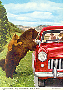 Rocky Mountain Black Bear Postcard Cs2905