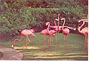 Flamingos at Play Florida cs3160 (Image1)