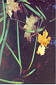Maple Leaves And Bur Reed, New York Postcard Cs3223