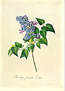 Purple Lilac G D Ehret Postcard cs3340 (Image1)