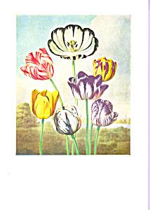Tulips P Reinagle Postcard cs3341 (Image1)