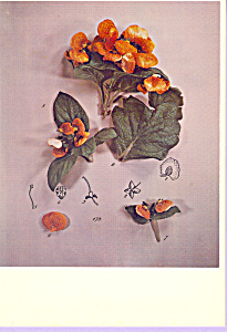 Calceolaria Betty Hahn Postcard cs3353 (Image1)