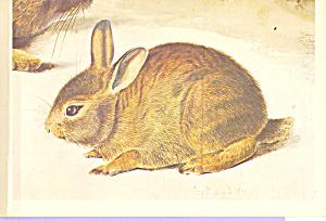 Young Gray Rabbit John James Audubon Postcard cs3851 (Image1)