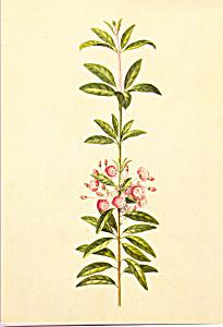 Kalmia Gonache Mark Catesby Postcard cs3959 (Image1)