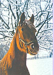 Horse with snow on head Postcard cs4218 (Image1)