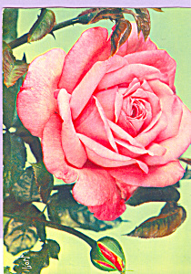 Jolies Roses De France Grace De Monoco (Image1)